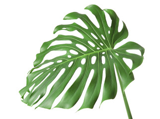 Green tropical leaf on white background