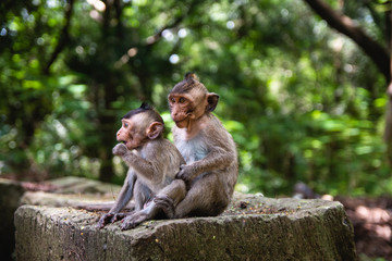 Two monkey brothers posing for a family picture in SIem Reap, Cambodia