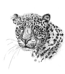 Charcoal drawing head of the leopard