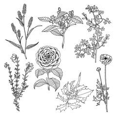 rysunek botaniczny rośliny kwiaty obrys kształt