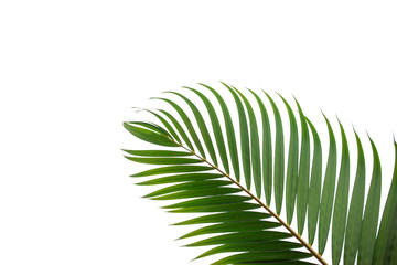 Wall Mural - tropical coconut leaf isolated on white background, summer background