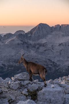 Steinnböcke in den julischen Alpen