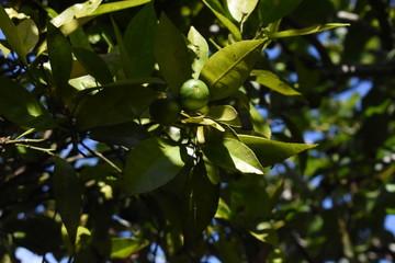Naranjas verdes inmaduras creciendo en el árbol, iluminadas por la luz del sol entre las sombras de las ramas.