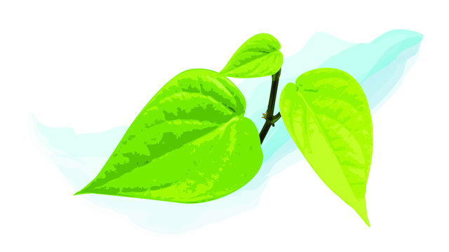 green betel leaf vector realistic draft  cutout nature asia