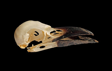 side view of a crow skull with open beak on a black background