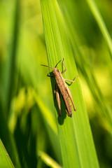 Brown grasshopper on green grass