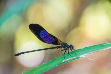 Small beautiful black dragonfly closeup