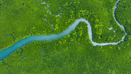 Aerial view mangrove jungles in Thailand, River in tropical mangrove green tree forest top view, trees, river. Mangrove landscape.