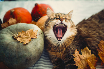 Cute Maine coon cat yawning with funny expression, lying in autumn leaves on rustic table with pumpkins. Adorable hungry tabby cat with green eyes and funny emotion. Thanksgiving or Halloween