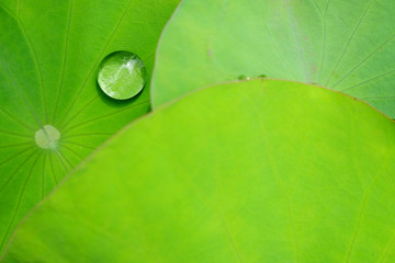 Wall Mural - water drop on green lotus leaf