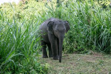 Thai Elephant in jungle