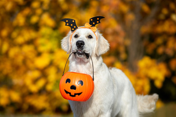 happy dog holding a pumpkin in mouth for Halloween