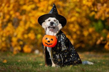 funny golden retriever dog posing for halloween in a costume