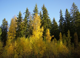 Fall colors in forest. Brightly colored autumn trees in imatra, Finland