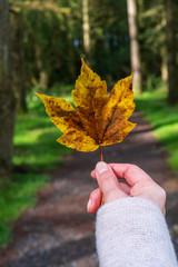 Female with a cozy knitted sweater hand holding a colorful autumn tree leaf on a forest trail background. Enjoying the fall season and relaxing in the nature concept.