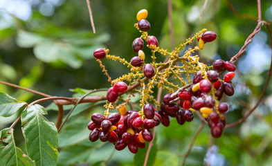 The red ripe fruits of Lepisanthes rubiginosa on the tree in the garden on a blurred natural background.