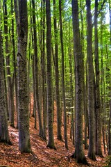 Wall Murals straight beech stems in the forest