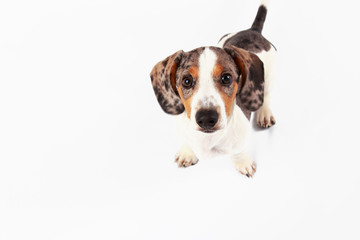little cute dachshund puppy dog looking at the camera on plain white background