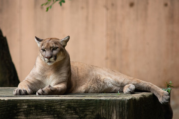 Acrylic Prints Puma Puma or Cougar