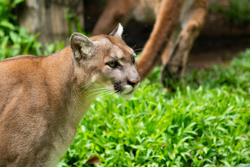 Foto op Aluminium Puma Puma or Cougar
