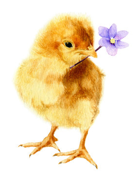 Picture of a fluffy chicken with a light-blue flower (hepatic flower) in its beak hand drawn in watercolor isolated on a white background. Watercolor Easter illustration