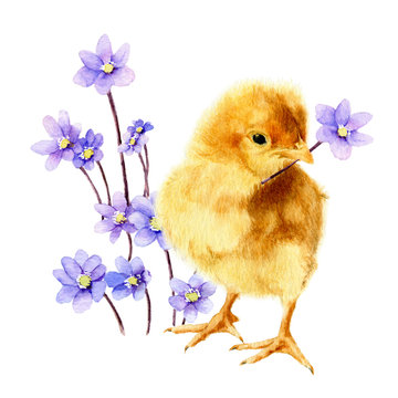 Picture of a fluffy chicken with a light-blue flowers (hepatic flowers)  hand drawn in watercolor isolated on a white background. Watercolor Easter illustration