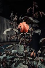 Imagen en primer plano de pimpollos de varias rosas color naranja, en un jardín al aire libre luego de una lluvia de otoño