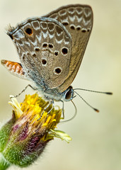 Hemiargus ceraunus butterfly pollinating Mexican daisy flower or Tridax procumbens