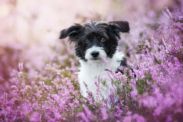 Chinese crested dog in heather flower landscape