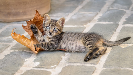 Cute brown tabby cat kitten lying on stony ground and playing with a withered Platanus leaf, Crete, Greece