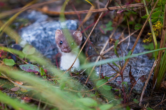 least weasel (Mustela nivalis) in summer