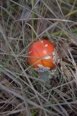 Obraz Muchomor czerwony, grzyb niejadalny,trujacy - fototapety do salonu