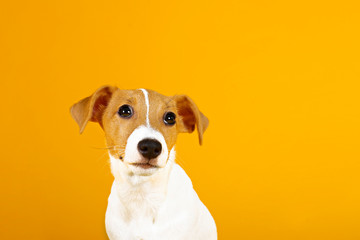 Cute two months old Jack Russel terrier puppy with folded ears. Small adorable doggy with funny fur stains isolated on yellow background. Close up, copy space.