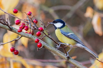 great tit sits on a branch with red berries