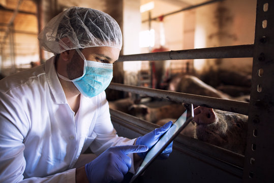 Veterinarian animal doctor at pig farm checking health status of pigs domestic animals on his tablet computer in pigpen. Health concept. Food quality control and meat inspection.