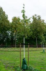 Junger Baum mit Bewässerungssack zum Schutz vor Trockenheit.