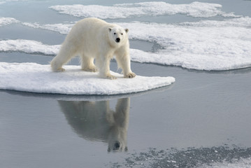 Printed roller blinds Polar bear Wild polar bear on pack ice in Arctic