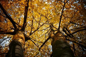 Złote jesienne liście na drzewach