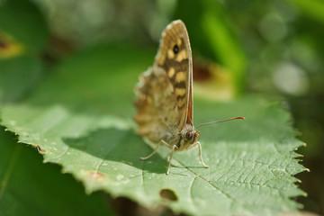 Schmetterlinge Deutschlands - Waldbrettspiel