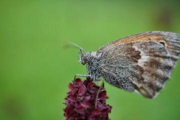 Schmetterlinge Deutschlands - Kleines Wiesenvögelchen