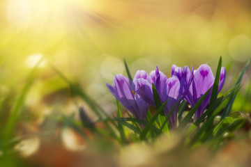 Foto op Plexiglas Krokussen Fairytale sunlight on spring flower crocus. View of magic blooming spring flowers crocus growing in wildlife. Majestic colors of spring flower crocus