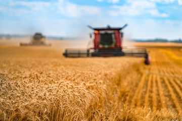 Corn in field closeup. Red grain harvesting combine in a sunny day in a blurred background . Yellow field with grain. Agricultural technic works in field. Fotomurales