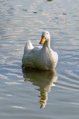 Large white heavy duck also known as America Pekin Duck, Long Island Duck, Pekin or Aylesbury Duck, (anas platyrhynchos domesticus)