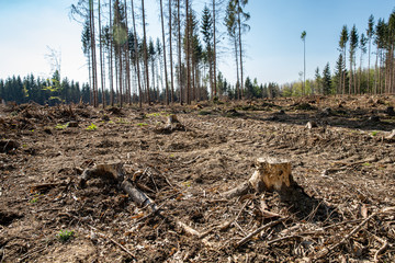 Obraz forest attacked by bark beetle. felled trees - fototapety do salonu