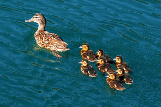 An adult duck with seven ducklings, taken in Konjic in Bosnia and Herzegovina