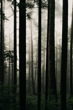 Foggy Morning Light In A Canadian Forest