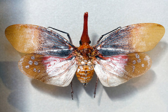 red spot lantern fly (aphaena submaculata) close up. Although it has two pairs of wings, Aphaena submaculata is an insect species