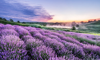 Photo sur Aluminium Lavande Colorful flowering lavandula or lavender field in the dawn light.
