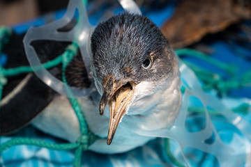 Photo sur Toile Pingouin Marine plastic pollution and nature conservation concept - penguin trapped in plastic net