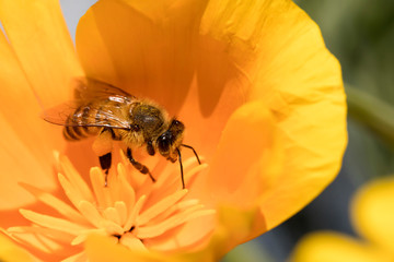 Aluminium Prints Bee Honey bees forage for nectar and pollen exclusively, and as they forage for these resources, honey bees accomplish pollination.